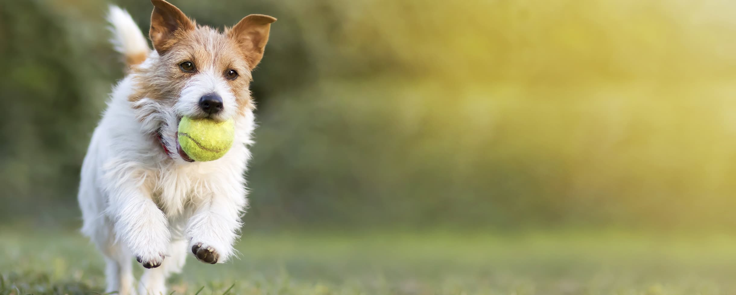 playful dog with a tennis ball in his mouth while running